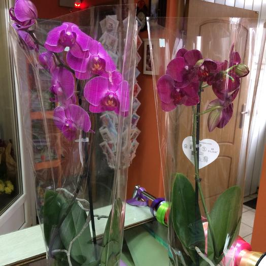 Орхидея фаленопсис 1 ств микс