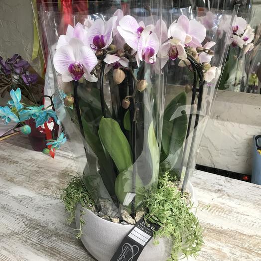 Роскошная орхидея: букеты цветов на заказ Flowwow