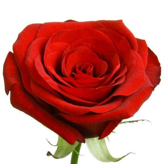 Розы подмосковные красные Ред Наоми 60 см
