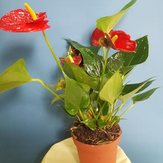 Комнатное растение Антуриум An Mix 9