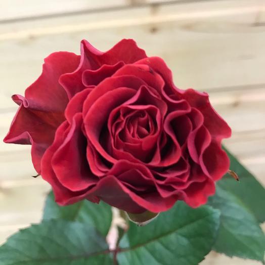 Роза Эль Торо 50см