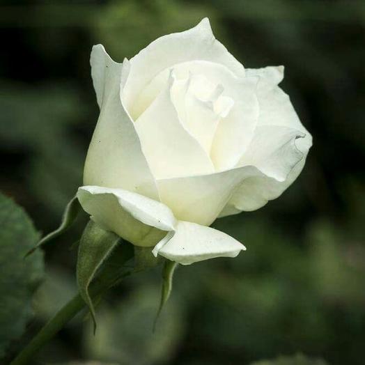 Роза венделла
