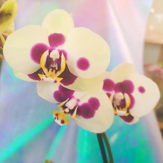 Необычная орхидея в стеклянном кашпо