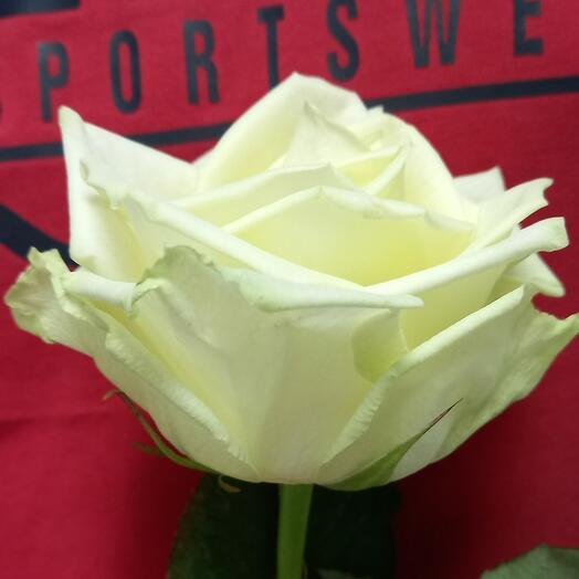 Роза White Naomi 60