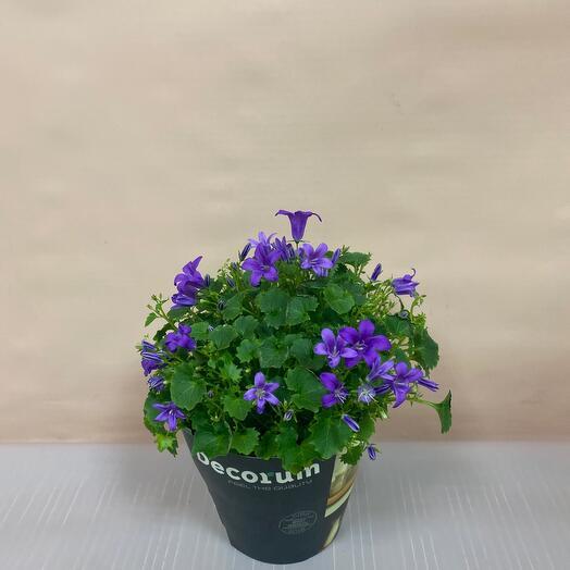 Комнатное растение кампанула