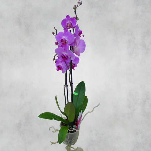 Фаленопсис в горшке: букеты цветов на заказ Flowwow