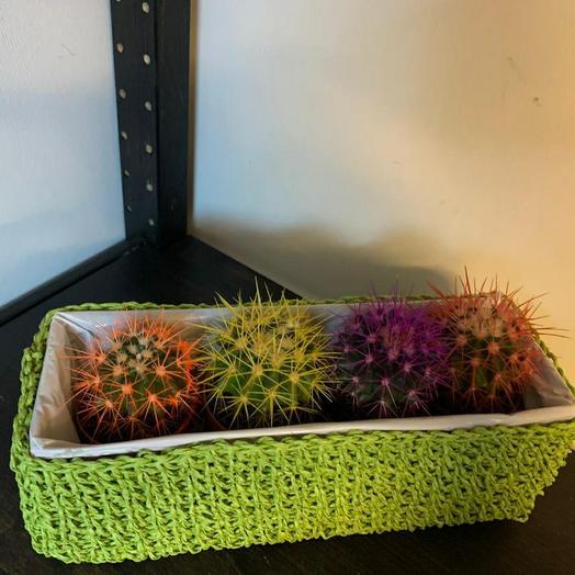 Кактусы разноцветные