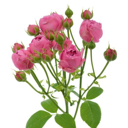 Кустовая роза Мисти