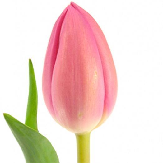 Тюльпан розовый Голландский