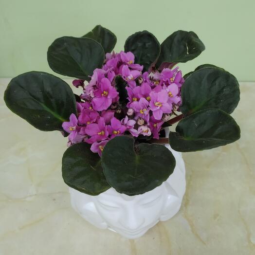 Комнатное растение Сенполия в дизайнерском кашпо