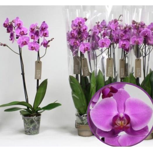 Орхидея фаленопсис Кармен: букеты цветов на заказ Flowwow