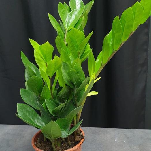 Комнатное растение «Замиокулкас»