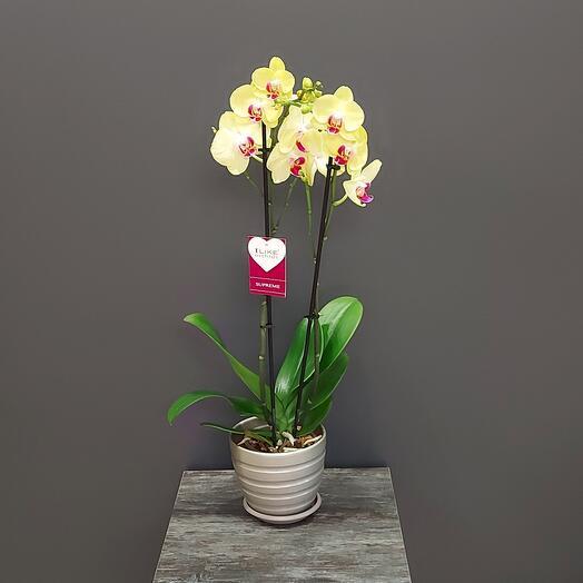 Орхидея фаленопсис Мирафлора