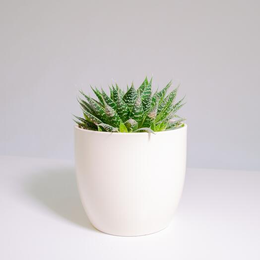 """Растение """"Алоэ Остистое"""" пересаженное в Кремовый горшок"""
