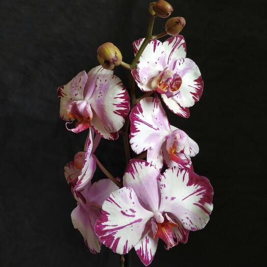 Орхидея Фаленопсис в подарочной коробочке