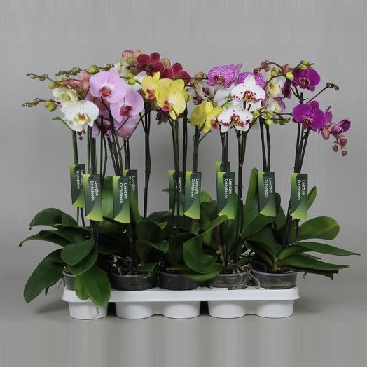 Фаленопсис 15 см: букеты цветов на заказ Flowwow