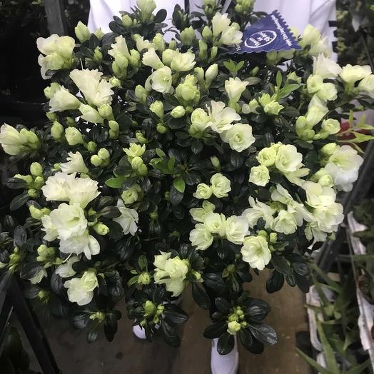 Азалия Микс: букеты цветов на заказ Flowwow