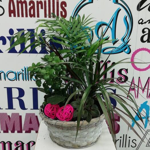 Комнатное растение Композиция Драцена, Хамедорея, Фиалка, Каланхоэ