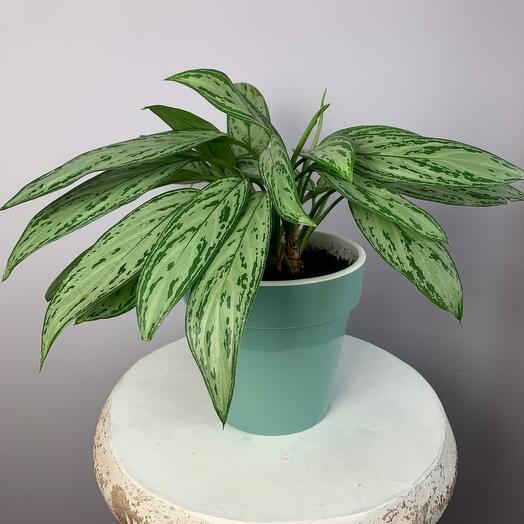 Комнатное растение Аглонема