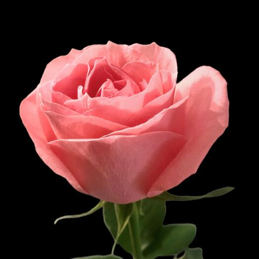 Роза Anna Karina 50 см