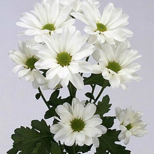Хризантема кустовая ромашковидная белая Bacardi (Бакарди)