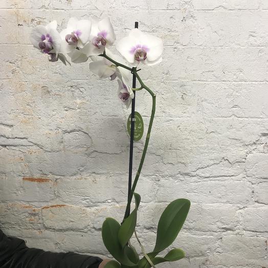 МеджикОрхид 3: букеты цветов на заказ Flowwow