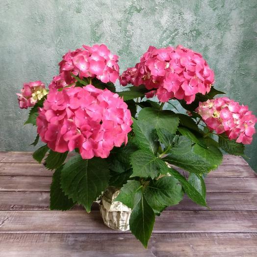 Милая гортензия: букеты цветов на заказ Flowwow