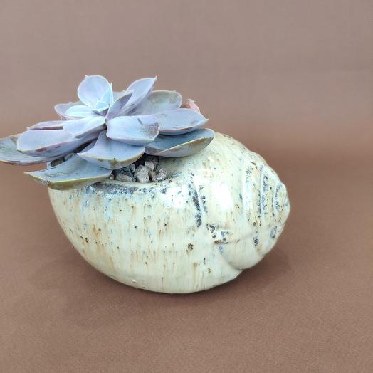 Эхеверия в керамической ракушке: букеты цветов на заказ Flowwow