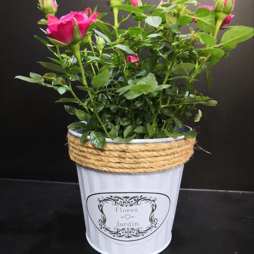 Роза в кашпо: букеты цветов на заказ Flowwow