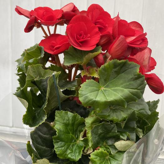 Бегония: букеты цветов на заказ Flowwow