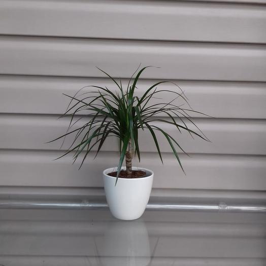 Горшечное растение Драцена