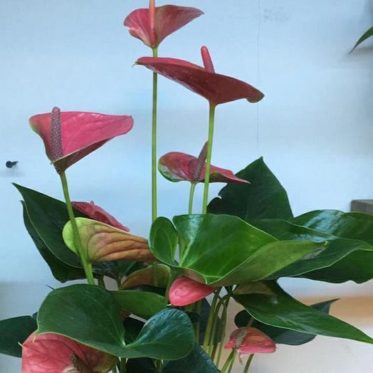 Антуриум розовый
