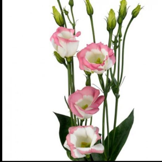Эустома бело-розовая ветка