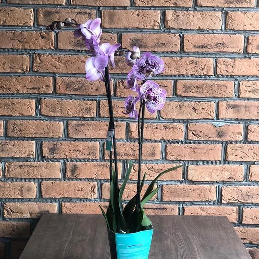 Орхидея сортовая