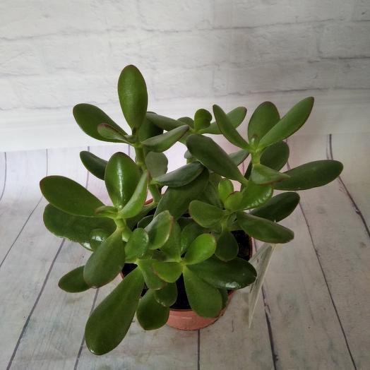 Комнатное растение Красула