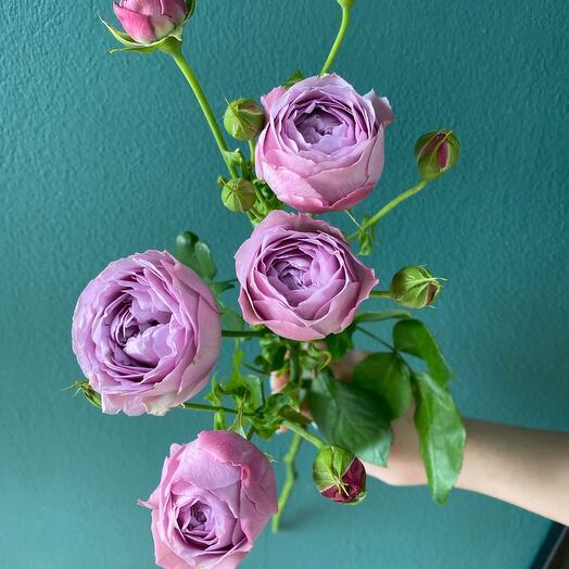Роза кустовая сиреневая