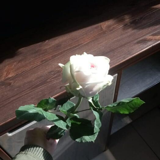 Розы эквадор О хара