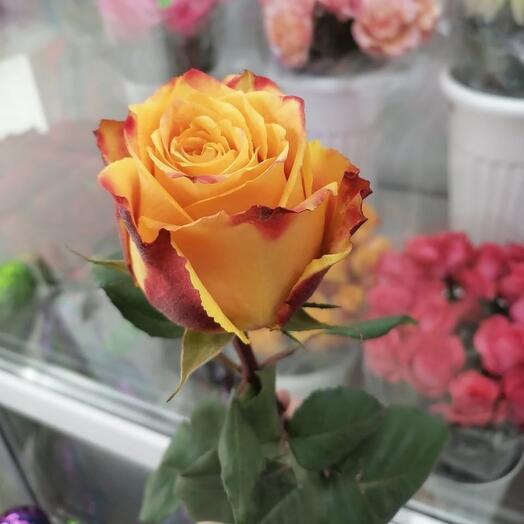 Роза эквадор хай меджик 60 см