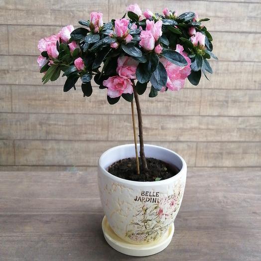 Азалия штамбовая крупноцветковая: букеты цветов на заказ Flowwow