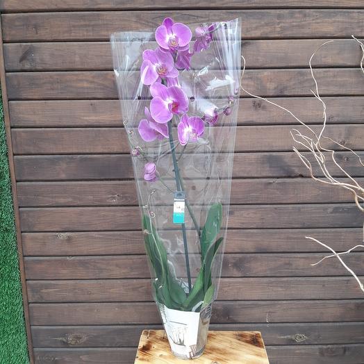 Высокая Орхидея