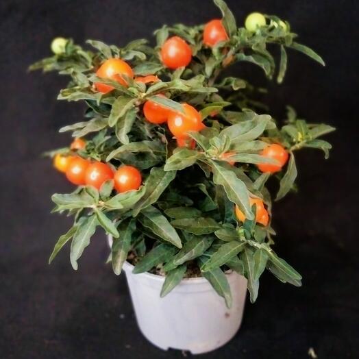 Комнатное растение Саланиум