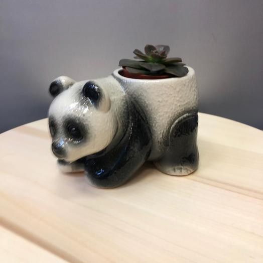 Панда с суккулентом