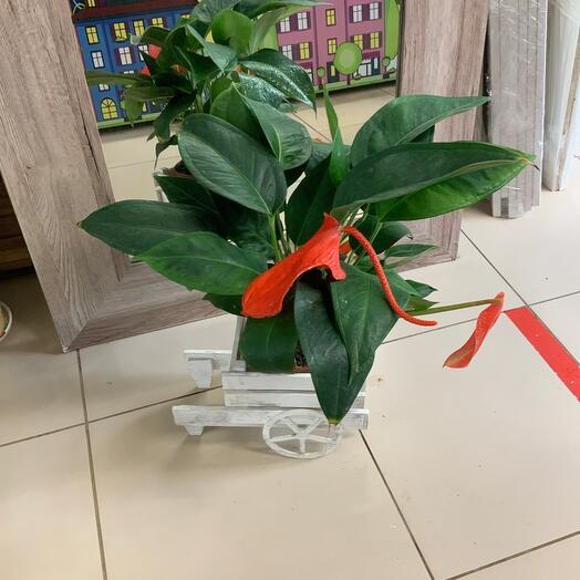 Комнатное растение Антуриум шерцера