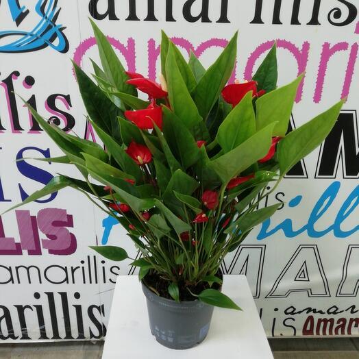 Комнатное растение Антуриум
