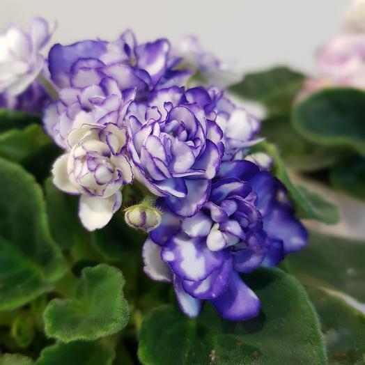 Фиалка махровая микс в керамическом кашпо: букеты цветов на заказ Flowwow