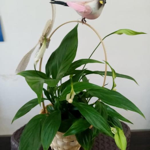 Комнатное растение спатифилум