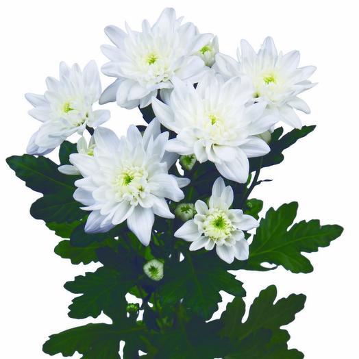 Кустовая хризантема белая