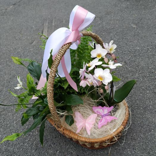 Корзина комнатных цветов «Вечная Англия»: букеты цветов на заказ Flowwow