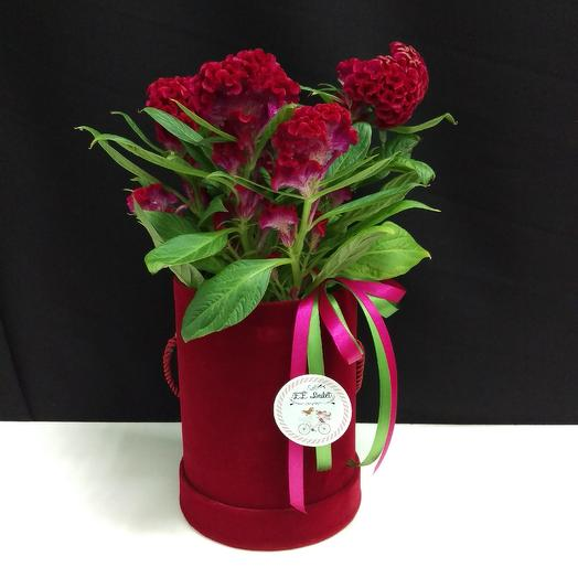 Целозия в коробке: букеты цветов на заказ Flowwow