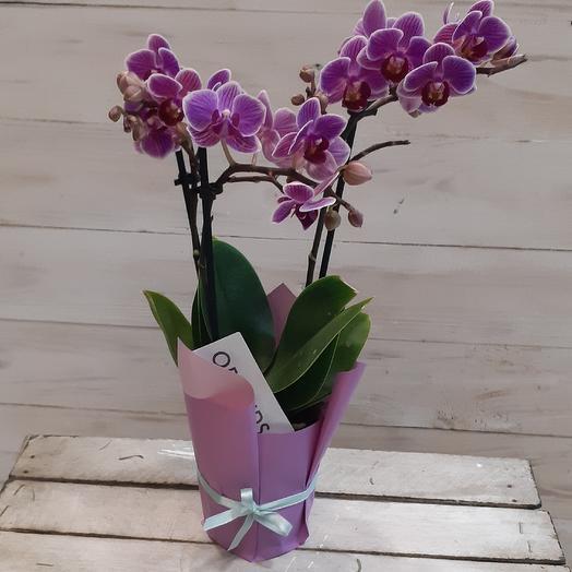 Сортовая орхидея фаленопсис мини: букеты цветов на заказ Flowwow